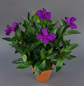 Pflanze Lila Blätter : tococa pflanze mit lila bl ten 40cm da kunstpflanzen k nstliche pflanzen ebay ~ Eleganceandgraceweddings.com Haus und Dekorationen