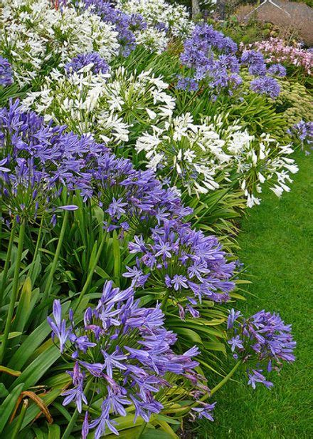landscaping with agapanthus problems with agapanthus garden guides gardening pinterest garden guide gardens and plants