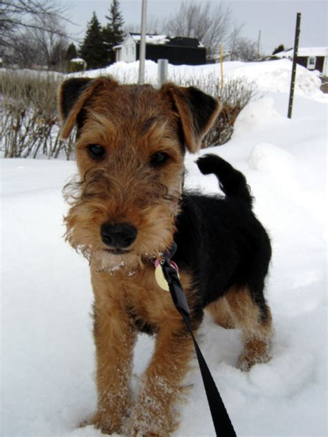 Ee  File Ee  Sophie The Welsh  Ee  Terrier Ee    Ee  Jpg Ee    Ee  Wikimedia Ee    Ee  Commons Ee