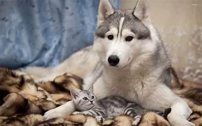 Kitten Puppy Husky Siberian Wallpapers