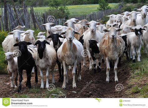 herd of goats stock image image of curious agriculture