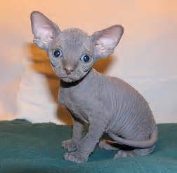 sphynx cat sphynx cat pictures cats