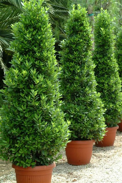 25 beautiful laurus nobilis ideas on bay laurel tree bay trees and laurel tree