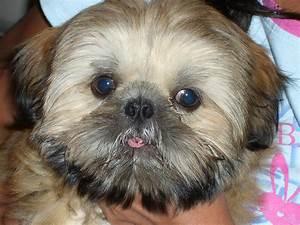 Shih Tzu Puppy HD desktop wallpaper : Widescreen : High ...