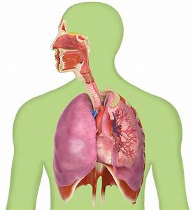Facts About The Lungs