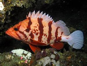 bob's cool pictures | Pacific Northwest Fish | tiger-rockfish