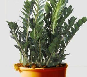 Bouture Plante Verte : zamioculcas plante zz conseils d 39 entretien jardinage plante zz jardin de plantes grasses ~ Melissatoandfro.com Idées de Décoration