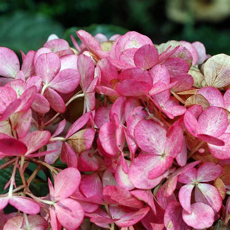 wims hortensie rispenhortensie wims hydrangea paniculata wims schnittblume mit bl 252 te im