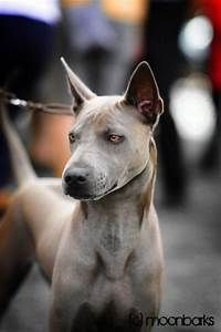 19 best Thai ridgeback dog images on Pinterest | Thai ...