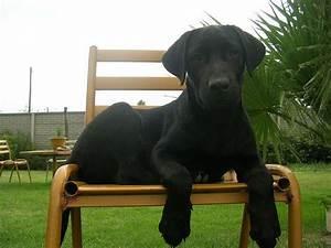 Black Weimaraner | Dogs | Pinterest