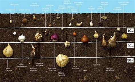 wann blumenzwiebeln pflanzen jetzt blumenzwiebeln setzen schaniel gartenbau