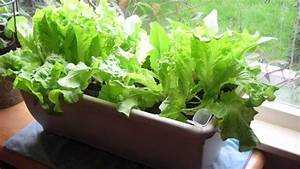 Tips For Growing Lettuce Indoors In Containers- Best Types ...