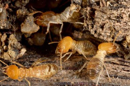 de fourmis dans la cuisine se débarrasser des termites pratique fr