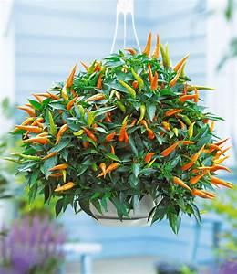 Paprika Pflanzen Pflege : snack gem se pflanzen snackgem se bei baldur garten ~ Markanthonyermac.com Haus und Dekorationen