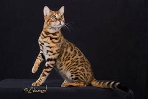 cheetoh cat cheetoh cat wallpapers hd