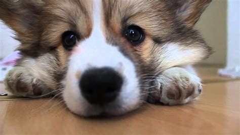 Eevi The Fluffy Corgi Puppy