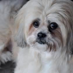 lhasa apso dog puppy dog gallery