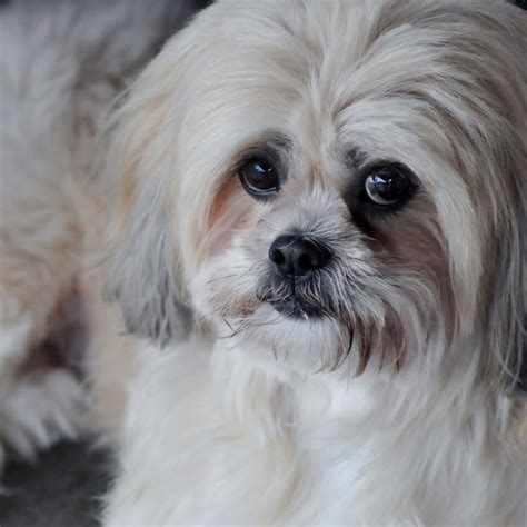 Lhasa Apso Mix Shedding Shih Tzu Maltese Behavior Breeds Picture