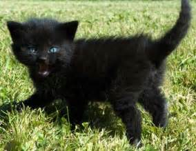 how do i what breed my cat is 15 black cats pictures and meet my cat kitty bloger