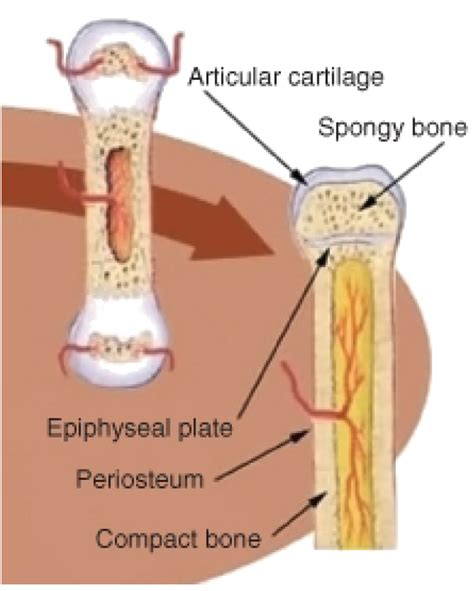epiphyseal plate