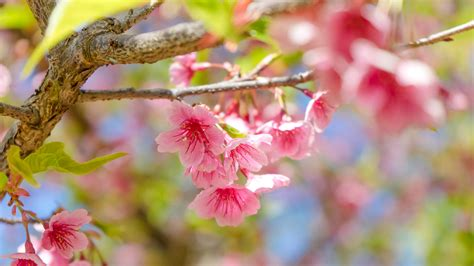 flowered tree top 10 flowering trees