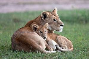 Lion Cub Cuddle up! | Animals | Pinterest