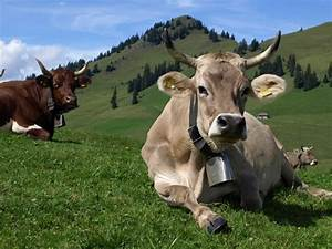 brown swiss with horns   tattooing   Pinterest   Cow ...