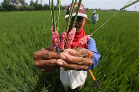 mengenal penyakit tungro padi mengatasinya