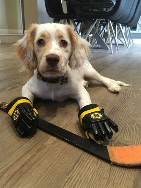 Yorkshire Hockey 17 Best Images About Hockey Dogs On Pinterest Cap D Agde