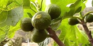 Planter Un Figuier : planter un figuier blog jardin ~ Melissatoandfro.com Idées de Décoration
