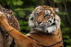 Tiger Sharpening Claws