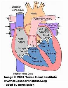 Heart Diagram For Kids To Label