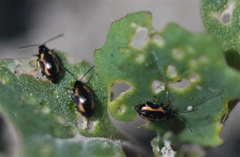 flea beetles feeding on volunteers canola watch free