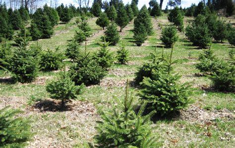 100 christmas tree farms albany ny new york brown