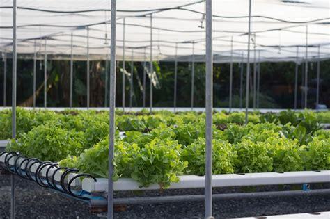 พืชไร้ดิน: ข้อดีและข้อเสียของการปลูกพืชโดยไม่ใช้ดิน