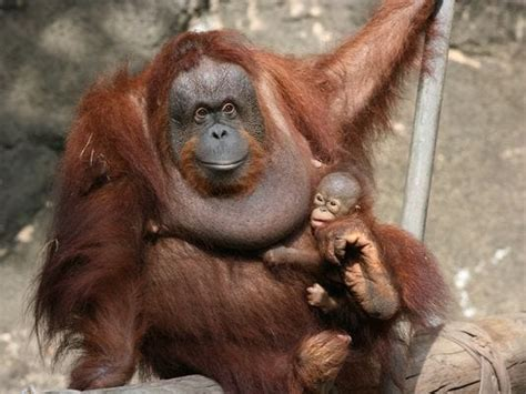 jackson zoo orangutan mom baby  view
