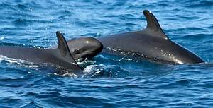 Rarely seen false killer whales spotted off Southern Cal ...