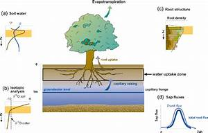 Scheme Of Water Uptake By Trees In The Riparian Forest   A  Soil Water
