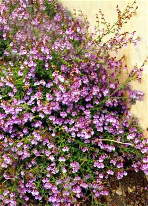 prostanthera denticulata australian native plants