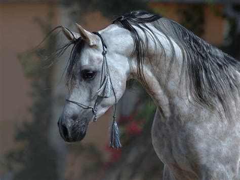 arab horse breed origins   arabian horse
