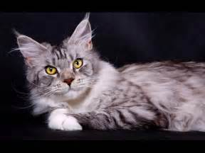 coon cats wallpapers domestic cat maine coon silver