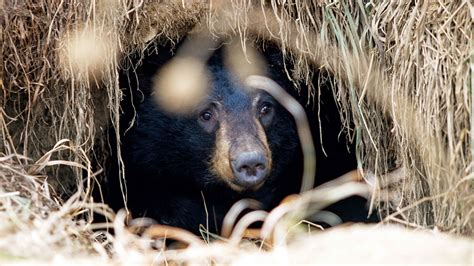 maine black bears hibernate  east