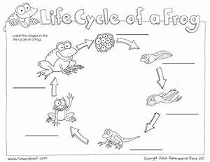 Life Cycle Of Frog Diagram