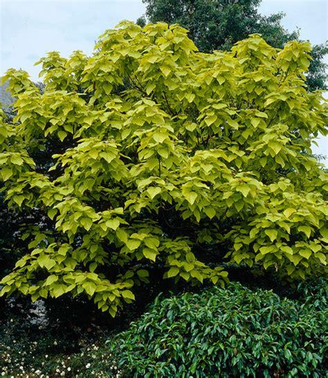 Trompetenbaum 1APflanzen online kaufen BALDURGarten