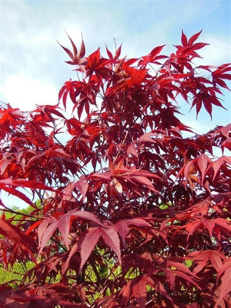 acer palmatum japanese maple bonsai  garden  seeds