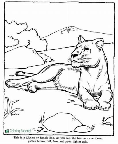 Coloring Pages Animal Zoo Animals Lioness Lion