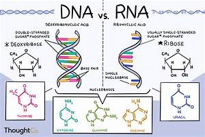The Differences Between Dna And Rna