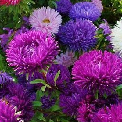 when to divide asters aster double gremlin mix flower seeds callistephus double