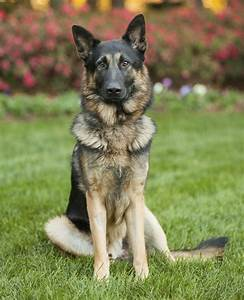 Want Information About the Great Dane-German Shepherd Mix ...
