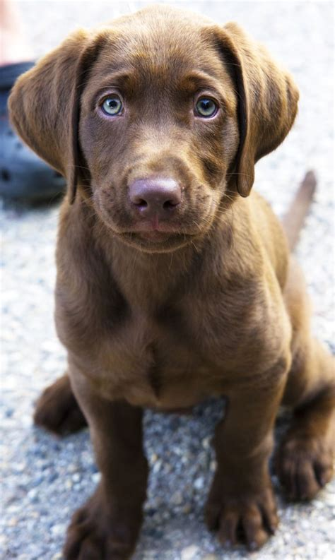 best ideas about labradors on best 25 chocolate lab puppies ideas on lab